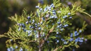 Le Genévrier commun ou Genièvre (Juniperus communis L.)