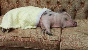 Le cochon Babe couché sur un sofa et recouvert d'une couverture