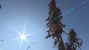 plant de chanvre