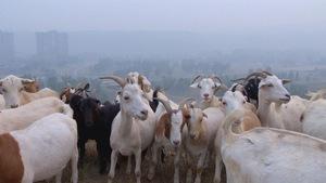 Chèvres en ville