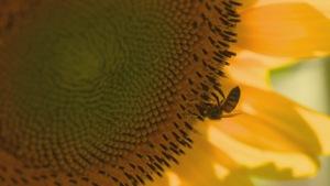 abeille sur une fleur de tournesol