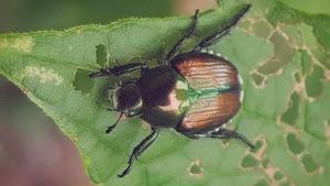 scarabée japonais sur une feuille