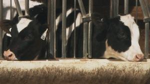 veaux d'élevage en étude sur leur personnalité.