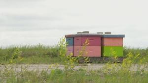 Des apiculteurs livrent des ruches à des producteurs de bleuets qui relâchent les abeilles dans leurs champs pour la pollinisation.