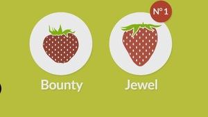 Image infographique de 2 fraises de type Bounty et Jewel.