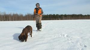 Un conducteur de chien de sang dans un champs l'hiver avec sa chienne qui renifle le sol.