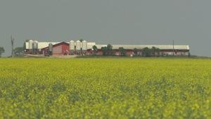 Un champs de canola en fleur et en arrière-plan des bâtiments agricoles.
