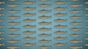 image infographique de dizaines de saumons de l'atlantique.