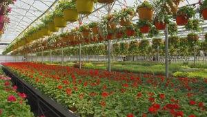 Intérieur d'une grande serre de production horticole remplie de plantes fleuries.