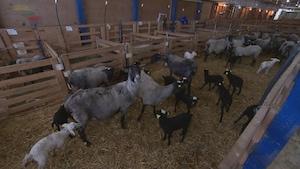 Groupe de brebis et d'agneaux dans une étable.