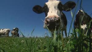 Une vache dans un champ avec son museau en avant-plan.