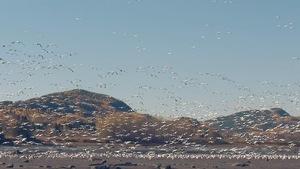 De nombreuses oies des neiges pendant leur mouvement migratoire.
