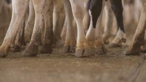 Plusieurs pieds de vaches dans une étable.