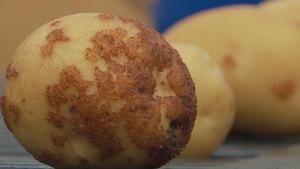 Une pomme de terre avec des lésions causées par la gale commune.