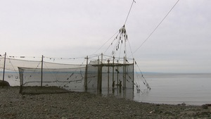 Filets installés sur la berge du fleuve pour la pêche à la fascine.