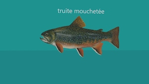 Image infographique d'une truite mouchetées.