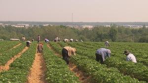 Plusieurs travailleurs étrangers dans un champs de fraises.