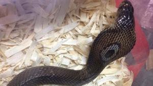 Photo de l'un des reptiles volés : un cobra
