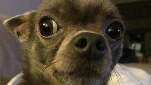 Un petit chien regarde la caméra.