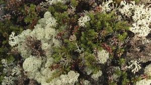 Le lichen antibactérien:Une ressource naturelle étonnante