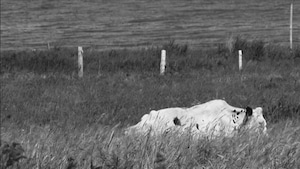 Une vache dans un champ.