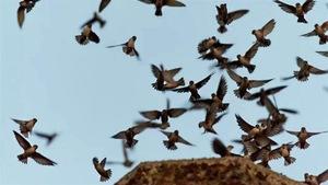 Le retour des martinets ramoneurs à leur cheminée de prédilection en fin de journée est devenu un spectacle rarissime au Manitoba.