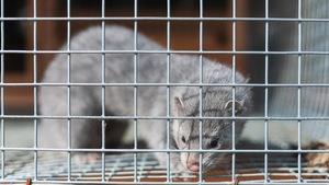 Un vison dans une cage.