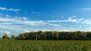 Des vignes dans un champ verdoyant ontarien.