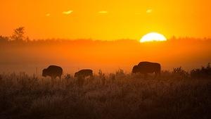 Des bisons dans un pré au coucher du soleil
