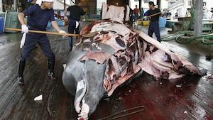Trois hommes, autour d'une baleine à bec morte couchée sur un plancher, la découpent dans un espace couvert du port de Wada au Japon.