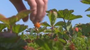 Une main s'apprête à cueillir un fruit de chicoutai sur un plant.