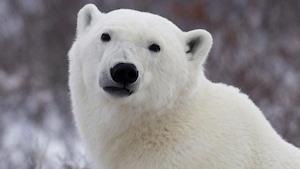Un ours polaire.