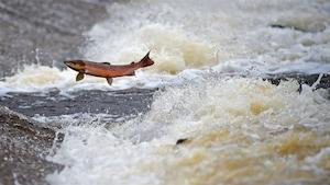 Un saumon atlantique remonte des rapides.