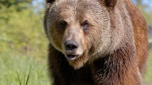 Chanson : Boo le grizzly