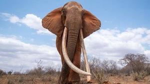 L'éléphante M_FU1