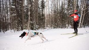 Un chien attaché à un harnais tire un homme faisant du ski de fond par la taille.