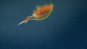 Une crevette éphémère, qu'on retrouve uniquement dans les mares printanières.