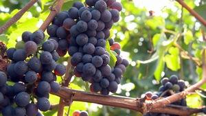 Des vignes de raisins bleues.