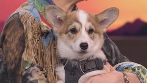 Un chien de race «corgi» est dans les bras de l'animatrice Chantal Lamarre.