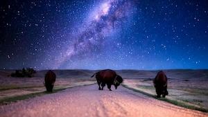 La nuit, trois bisons broutent dans un pré sous la Voie lactée.