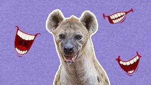 Pourquoi dit-on que l'hyène rit?