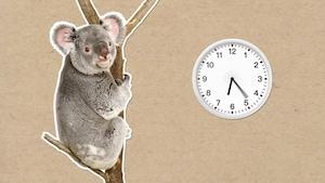 Pourquoi les koalas dorment-ils autant?