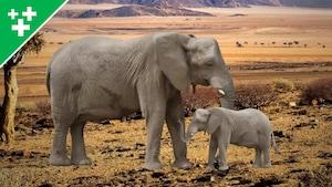 Faits fascinants sur les éléphants