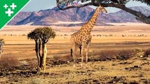 Faits fascinants sur les girafes