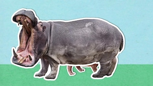 Pourquoi dit-on que l'hippopotame est un animal très surprenant?