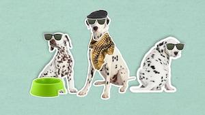 Pourquoi les dalmatiens sont-ils couverts de taches?