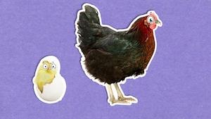 Pourquoi les poules ne volent-elles pas?