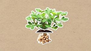 Comment les arachides poussent-elles?