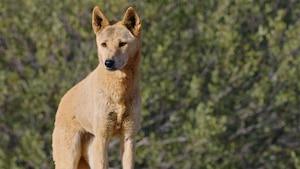 Chanson : Dingo