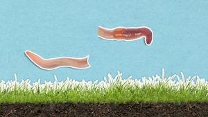 Que se passe-t-il quand on sépare un ver de terre en deux?